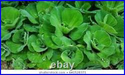 100 ADULT Live Water Lettuce Floating Plants Clarifies Fry cover Koi Ponds
